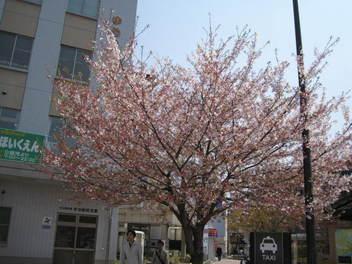 12-sakura-kyoto167.JPG