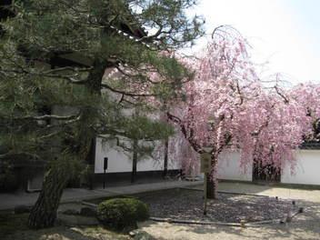 12-sakura-kyoto185.JPG