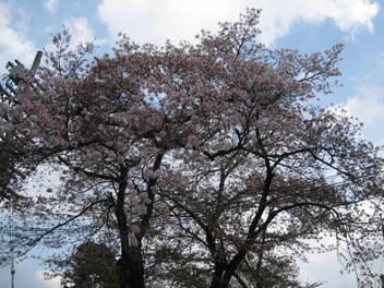 12-sakura-kyoto192.JPG