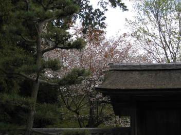 12-sakura-kyoto194.JPG
