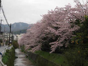12-sakura-kyoto20.JPG