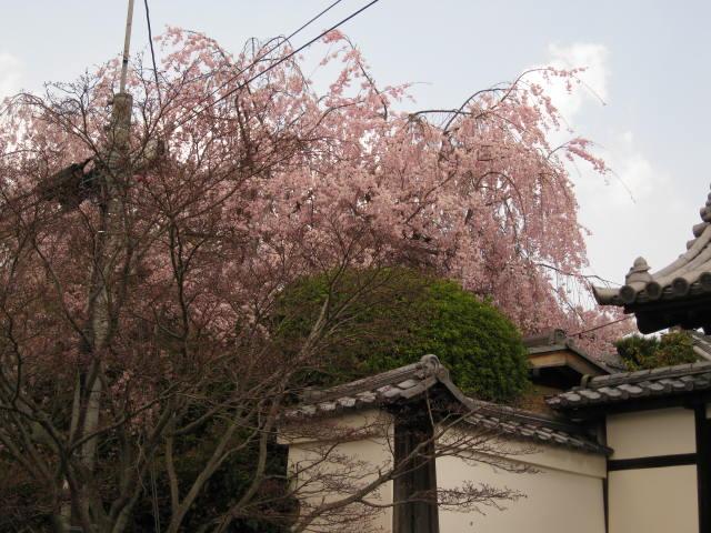 12-sakura-kyoto200.JPG