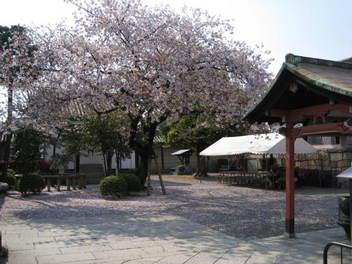 12-sakura-kyoto224.JPG