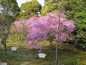 12-sakura-kyoto234.JPG