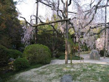 12-sakura-kyoto250.JPG