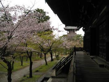 12-sakura-kyoto33.JPG
