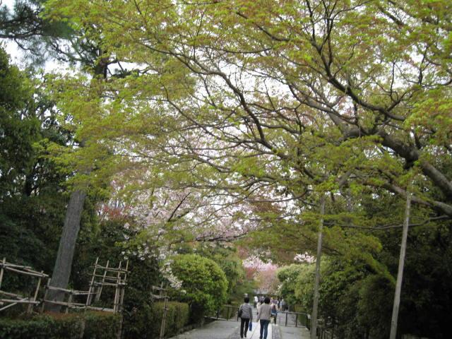 12-sakura-kyoto331.JPG