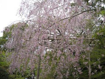 12-sakura-kyoto340.JPG