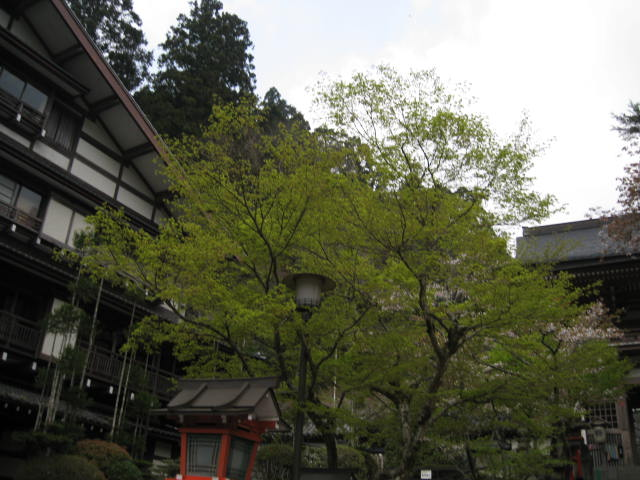 12-sakura-kyoto408.JPG