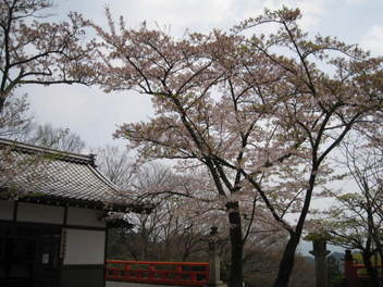 12-sakura-kyoto434.JPG