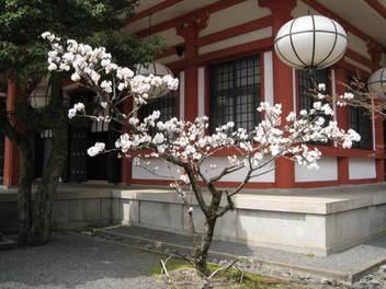 12-sakura-kyoto436.JPG