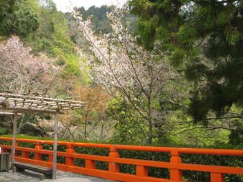 12-sakura-kyoto437.JPG