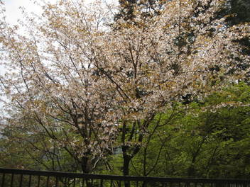 12-sakura-kyoto448.JPG