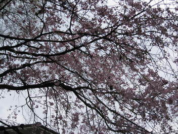 12-sakura-kyoto513.JPG