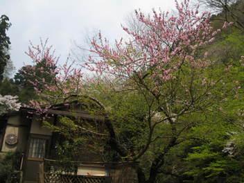 12-sakura-kyoto515.JPG
