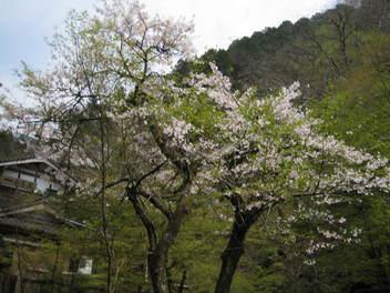 12-sakura-kyoto516.JPG
