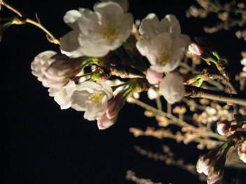 12-sakura-kyoto8.JPG