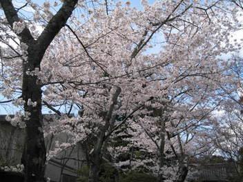 12-sakura-kyoto84.JPG