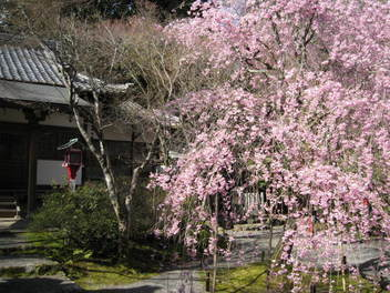 12-sakura-kyoto92.JPG