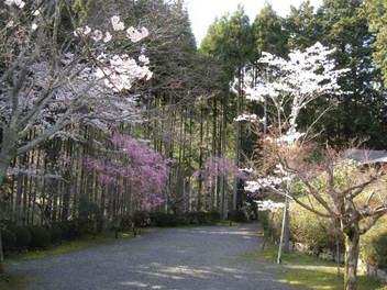 12-sakura-kyoto94.JPG