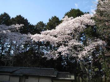 12-sakura-kyoto97.JPG