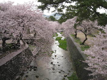 12-sakura-syukugawa3.JPG
