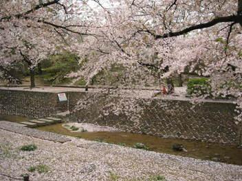 12-sakura-syukugawa5.JPG