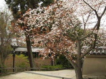 13-sakura-kyoto183.JPG