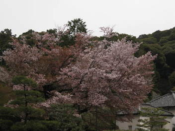 13-sakura-kyoto212.JPG