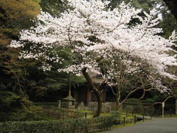 13-sakura-kyoto213.JPG