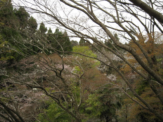 13-sakura-kyoto235.JPG