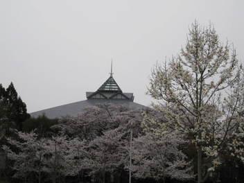 13-sakura-kyoto238.JPG