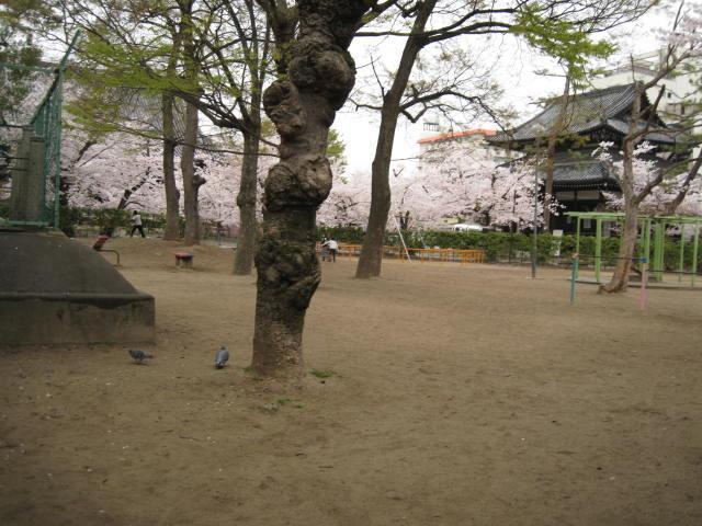 13-sakura-kyoto275.JPG