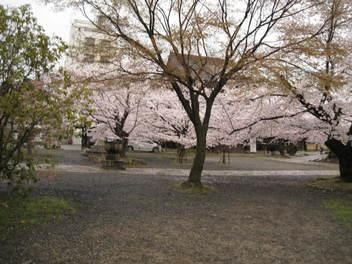 13-sakura-kyoto280.JPG