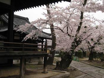13-sakura-kyoto282.JPG