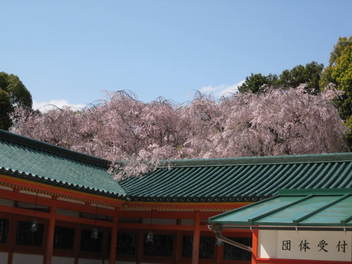 13-sakura-kyoto376.JPG