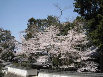 13-sakura-kyoto38.JPG