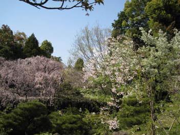13-sakura-kyoto382.JPG
