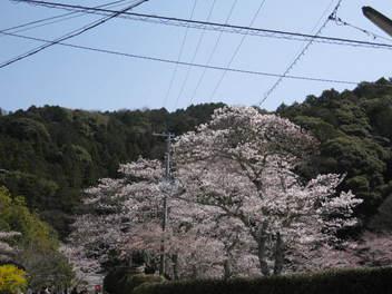 13-sakura-kyoto45.JPG