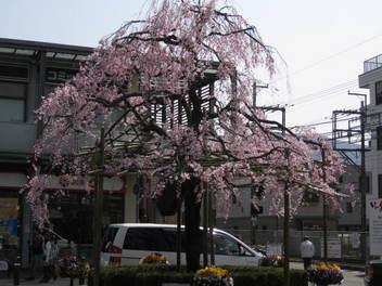13-sakura-kyoto5.JPG