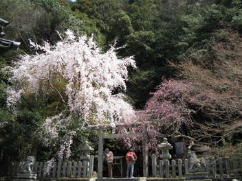 13-sakura-kyoto56.JPG