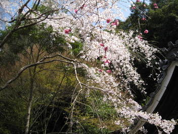 13-sakura-kyoto57.JPG