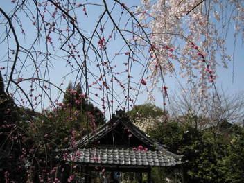 13-sakura-kyoto59.JPG