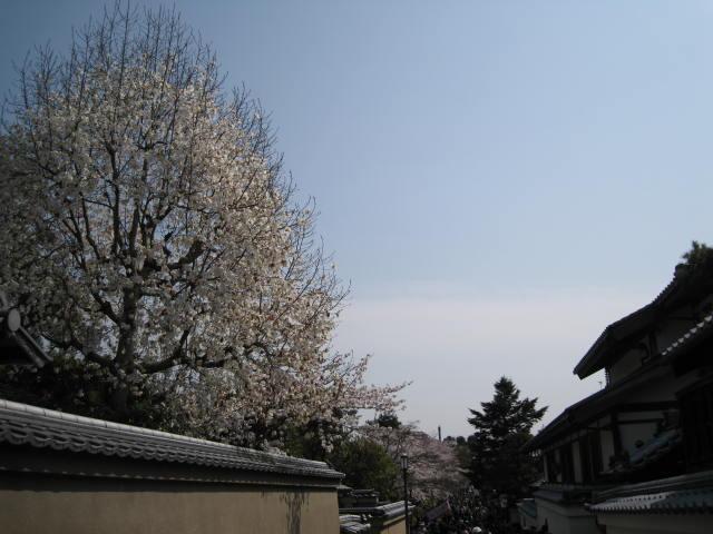 13-sakura-kyoto70.JPG