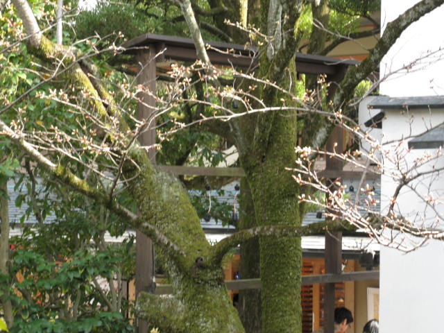 13-sakura-kyoto85.JPG
