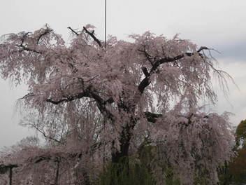 13-sakura-kyoto11.JPG