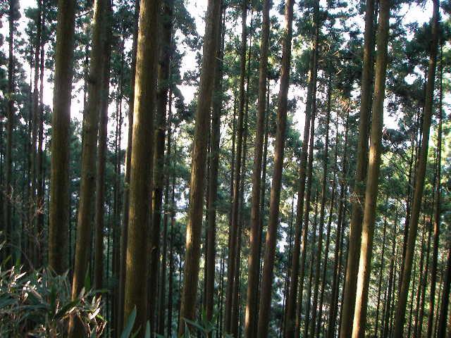 2008-yoshino-sakura12.JPG