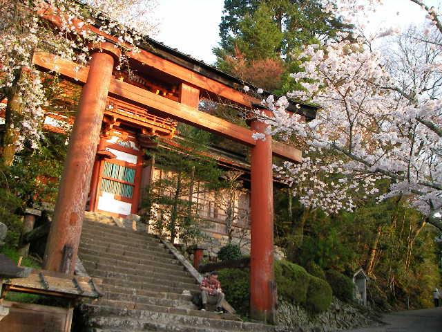 2008-yoshino-sakura28.JPG