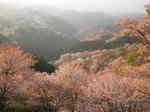 2008-yoshino-sakura36.JPG