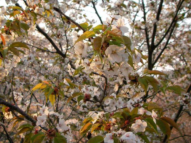 2008-yoshino-sakura38.JPG